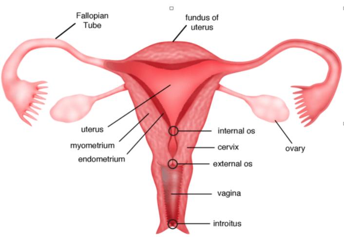 Normal Fertility